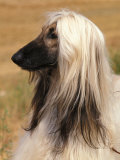 Afghan Hound Profile Posters by Adriano Bacchella