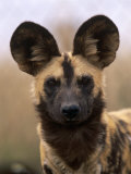 African Wild Dog, Portrait, South Africa Premium Photographic Print by Pete Oxford
