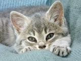 Domestic Cat, Blue Tabby Kitten Photo by Jane Burton