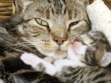 Domestic Cat, Tabby Mother and Her Sleeping 2-Week Kitten Prints by Jane Burton