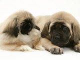 Pekingese Pup with English Mastiff Puppy Prints by Jane Burton