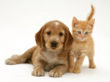 Golden Cocker Spaniel Puppy with British Shorthair Red Tabby Kitten Print by Jane Burton