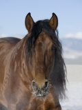 Bay Andalusian Stallion, with Hairs on Nose Frozen, Longmont, Colorado, USA Photographic Print by Carol Walker