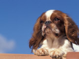 King Charles Cavalier Spaniel Adult Portrait Poster by Adriano Bacchella