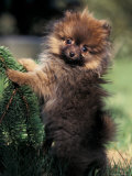German Spitz (Klein) Puppy Climbing Branch Photographic Print by Adriano Bacchella