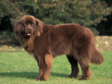 Brown Newfoundland Portrait Pster por Adriano Bacchella