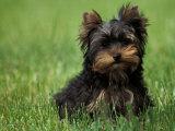 Yorkshire Terrier Puppy Sitting in Grass Fotografisk tryk af Adriano Bacchella