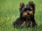 Yorkshire Terrier Puppy Sitting in Grass Pósters por Adriano Bacchella