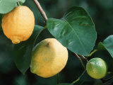 Lemons on Tree Poster par Petra Wegner