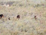 Bay Mares and Stallion Amongst Brush, Meeker, Colorado, USA Photo by Carol Walker
