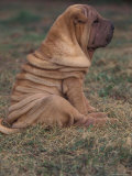 Shar Pei Puppy Sitting on Grass, Showing Skin Wrinkling on Back Photographic Print by Adriano Bacchella