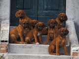 Domestic Dogs, Seven Rhodesian Ridgeback Puppies Sitting on Steps Prints by Adriano Bacchella