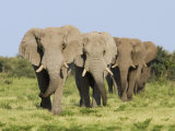 African Elephant, Bulls Walking in Line, Etosha National Park, Namibia Photographic Print by Tony Heald
