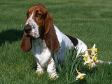 Basset Hound, USA Prints by Lynn M. Stone