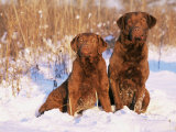 Two Chesapeake Bay Retrievers Sitting in Snow, Domestic Dog Breed (Canis Familiaris) Illinois, USA Prints by Lynn M. Stone