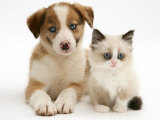 Blue-Eyed Red Merle Border Collie Puppy with Birman-Cross Kitten, Blue Eyes Fotografisk tryk af Jane Burton