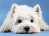 West Highland White Terrier Posters by Steimer