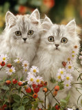 Domestic Cat, Two Silvertabby Persian Kittens Among Michaelmas Dasies and Rose Hip Prints by Jane Burton