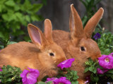 Mother and Baby New Zealand Rabbit Amongst Petunias, USA Posters by Lynn M. Stone