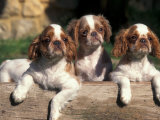 Three King Charles Cavalier Spaniel Puppies on Log Print by Adriano Bacchella