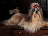 Shih Tzu Portrait with Hair Tied Up, Lying on Drawers Premium Photographic Print by Adriano Bacchella