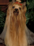 Yorkshire Terrier with Hair Tied up and Very Long Hair Print by Adriano Bacchella