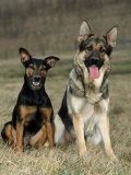 German Shepherd and Mixed Breed Dogs Photographic Print by Petra Wegner