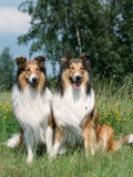 Two Collie Dogs Print by Petra Wegner