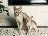 Singapura Cat with Kitten Posters by Petra Wegner