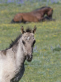 Portrait of Blue Eyed Grulla Colt with Bay Stallion Lying Down, Pryor Mountains, Montana, USA Posters by Carol Walker
