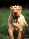 Young Shar Pei Portrait Showing Wrinkles on Head and Chest Posters by Adriano Bacchella