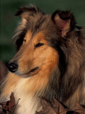 Rough Collie Portrait Lminas por Adriano Bacchella