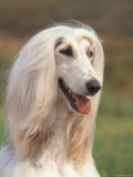 Domesti Dog, Afghan Hound Portrait Prints by Adriano Bacchella