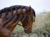 Bay Andalusian Stallion, with Plaited Mane and Bridle, Austin Texas, USA Prints by Carol Walker