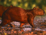 Capybara, Pantanal, Brazil Premium Photographic Print by Pete Oxford