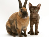 Brown Burmese-Cross Kitten with Rex Rabbit Photographic Print by Jane Burton