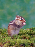 Siberian Chipmunk Photographic Print by  Steimer