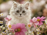 Domestic Cat, Silvertabby Kitten Among Michaelmas Dasies, Japanese Anemones and Cosmos Dasies Print by Jane Burton