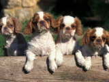 Four King Charles Cavalier Spaniel Puppies with Log Posters by Adriano Bacchella