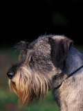 Miniature Schnauzer Profile Photographic Print by Adriano Bacchella