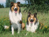 Two Collie Dogs Premium Photographic Print by Petra Wegner