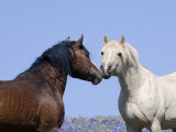 Bay Stallion and Palomino Stallion Touching Noses, Pryor Mountains, Montana, USA Posters by Carol Walker