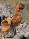 Tibetan Spaniel Perching on Rocks for a Better View Photographic Print by Adriano Bacchella