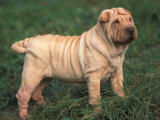 Shar Pei Standing in Grass Posters by Adriano Bacchella