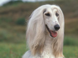 Afghan Hound Portrait Prints by Adriano Bacchella