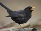 Blackbird (Turdus Merula) Male Singing, Helsinki, Finland Papier Photo par Markus Varesvuo