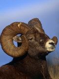 Rocky Mountain Bighorn Sheep, Jasper National Park, Alberta, Canada Photographic Print by Lynn M. Stone