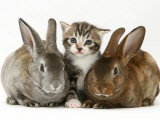 Tabby Kitten with Two Rabbits Photographic Print by Jane Burton