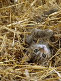 Domestic Cat, Tabby Farm Kitten Playing in Straw Photo by Jane Burton