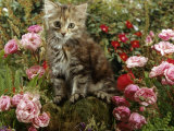 Domestic Cat, 8-Week, Long Haired Tabby Kitten with Pink Roses Photographic Print by Jane Burton